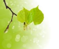 As primeiras folhas da mola Imagem de Stock