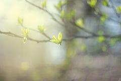 As primeiras folhas da mola em um ramo Imagens de Stock