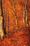 As primeiras raias do sol bateram uma madeira de faia do outono imagem de stock
