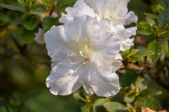 As quatro horas brancas de florescência no tempo frio fotografia de stock royalty free