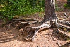As raizes da árvore imagem de stock royalty free