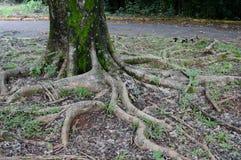 As raizes da árvore Fotos de Stock Royalty Free