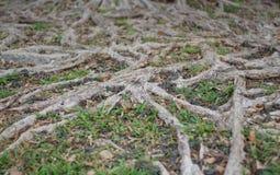 As raizes da árvore Fotos de Stock