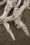 As raizes da madeira lançada à costa assemelham-se a um trenó do cão, lago flagstaff, Maine fotografia de stock royalty free