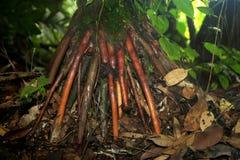 As raizes de suporte numerosas crescem do tronco e dos ramos dos manguezais vermelhos, transformando-se finalmente plantas inteir imagens de stock royalty free