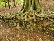As raizes de uma árvore de faia que cresce sobre uma pedra calcária outcrop imagens de stock