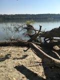 As raizes de uma árvore grande Foto de Stock
