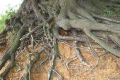 As raizes de uma exposição da árvore ao longo do estuário depositam Fotos de Stock Royalty Free