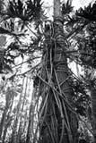 As raizes do Philodendron abraçam o tronco de um pinheiro foto de stock