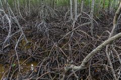 As raizes dos manguezais são florestas abundantes dos manguezais foto de stock