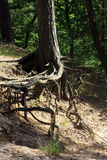 As raizes dos pinheiros que crescem nas inclinações Imagens de Stock Royalty Free