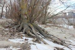 As raizes incomuns de uma árvore no banco de rio fotos de stock royalty free