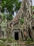 As raizes Tangled da árvore overgrow o templo de pedra, Camboja Fotos de Stock
