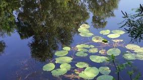 As reflexões das árvores, da folha e dos lírios de água estão balançando na superfície aquosa do rio video estoque