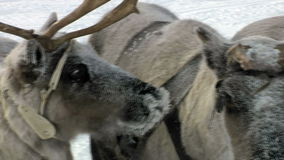 As renas esperam a alimentação video estoque