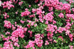 As rosas Fotografia de Stock Royalty Free