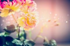 As rosas amarelas cor-de-rosa bonitas florescem no por do sol, exterior imagens de stock royalty free