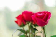 As rosas cor-de-rosa brilhantes estão na janela borrada do fundo imagens de stock royalty free