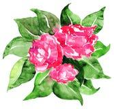 As rosas cor-de-rosa da aquarela florescem a composição floral das folhas isolada Imagens de Stock