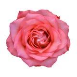 As rosas cor-de-rosa fecham-se acima Fundo Fotografia de Stock