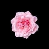 As rosas cor-de-rosa florescem com fundo preto, moldam, fecham-se acima Fotografia de Stock Royalty Free