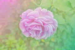 As rosas cor-de-rosa frescas fecham-se acima Rosas no jardim Fotografia de Stock