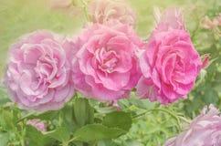 As rosas cor-de-rosa frescas fecham-se acima Rosas no jardim Imagem de Stock
