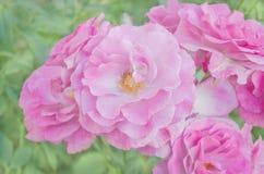 As rosas cor-de-rosa frescas fecham-se acima Rosas no jardim Foto de Stock Royalty Free