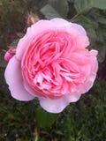 As rosas cor-de-rosa, o que podiam ser mais bonitas? , Odessa, 2017 Fotografia de Stock Royalty Free