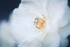As rosas cremosas bege brancas mágicas sonhadoras feericamente bonitas florescem no fundo azul verde obscuro desvanecido Imagens de Stock