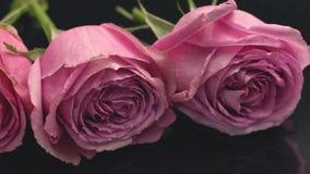 As rosas da cor cor-de-rosa em um fundo escuro o cheiro do frescor da surpresa do presente do ramalhete dos perfumes aumentaram filme