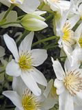 As rosas de rocha delicados pequenas bonitas brancas aumentaram flores selvagens lilás malva do prado das plantas da flor fotos de stock