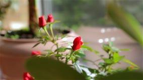 As rosas em um potenciômetro de flor vídeos de arquivo