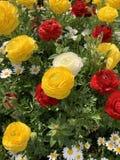 As rosas est?o florescendo imagem de stock royalty free