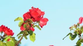 As rosas floresceram no jardim vídeos de arquivo