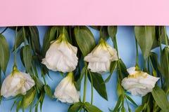 As rosas japonesas encontram-se em seguido em um envelope cor-de-rosa enchem com seu close-up dos pés em um fundo de madeira azul Fotos de Stock Royalty Free