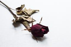 As rosas murcham no fundo branco da lona imagens de stock royalty free