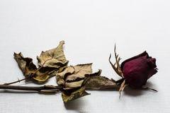 As rosas murcham no fundo branco da lona imagem de stock