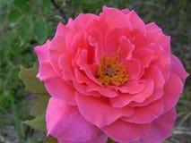 As rosas são cor-de-rosa Imagens de Stock