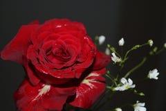 As rosas são vermelhas foto de stock