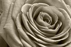 As rosas são vermelhas? Fotografia de Stock Royalty Free