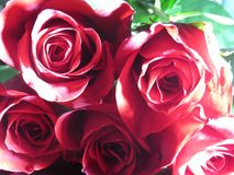 As rosas são vermelhas Fotos de Stock Royalty Free