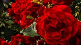 As rosas são vermelhas Foto de Stock Royalty Free