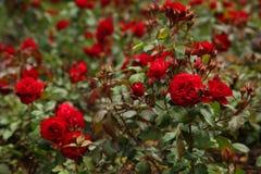 As rosas vermelhas Foto de Stock Royalty Free