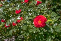 As rosas vermelhas fecham-se acima do fundo imagem de stock