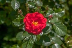 As rosas vermelhas fecham-se acima do fundo da textura imagem de stock
