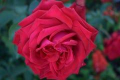 As rosas vermelhas fecham-se acima fotos de stock royalty free