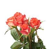 As rosas vermelhas frescas sobre o branco isolaram o fundo Fotografia de Stock