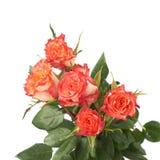 As rosas vermelhas frescas sobre o branco isolaram o fundo Imagem de Stock