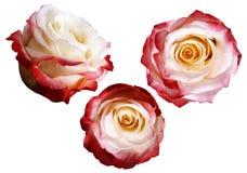 As rosas vermelho-branco-amarelas ajustadas em um branco isolaram o fundo com trajeto de grampeamento Nenhumas sombras closeup Imagens de Stock